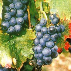 gamay-grape