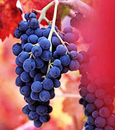 Barbera - Italian Wine Hub