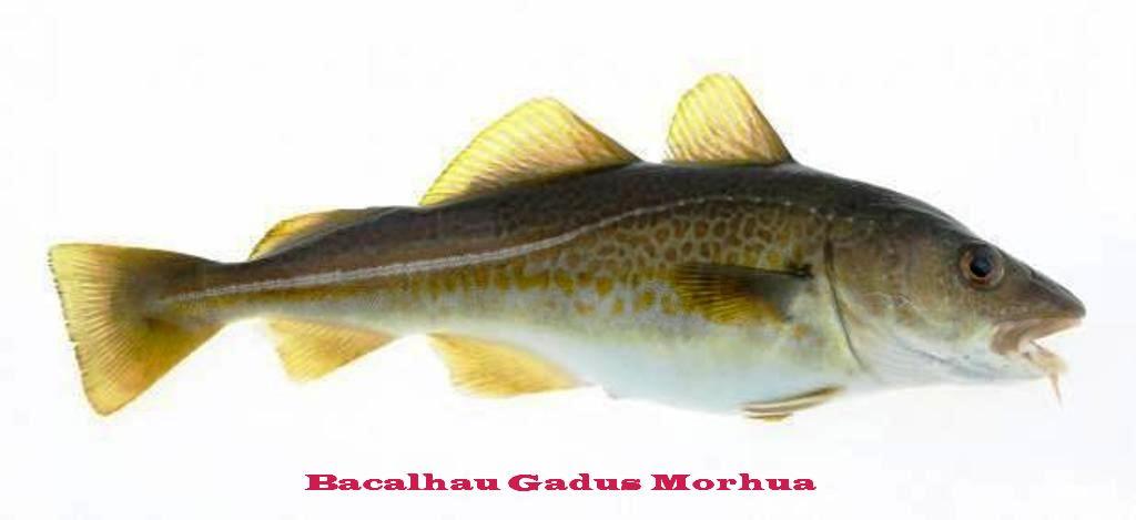 Bacalhau-Gadus-morhua_large