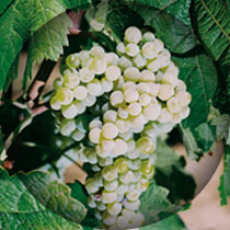 Foto - arinto-uvas
