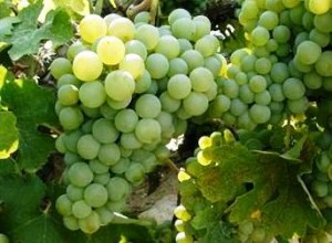 verdejo-grape